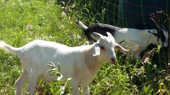 And lovely goats